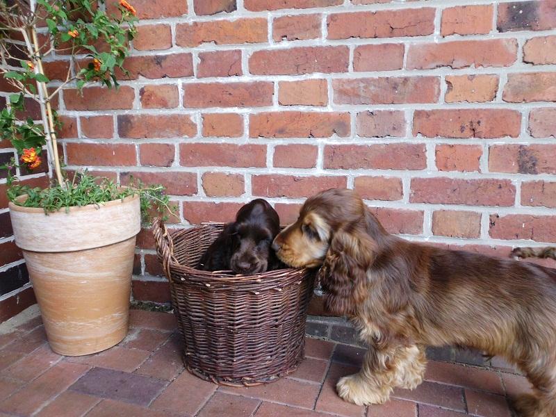 Hunde und ...: Englisch Cocker Spaniel